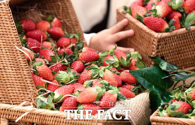 식품·외식업계가 겨울 제철 과일인 '딸기'를 활용한 상품을 잇달아 내놓으며 인기를 끌고 있다. /더팩트 DB